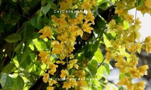 Hoa leo - hoa Lan hoàng dương