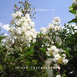 Cây bằng lăng ổi hoa trắng