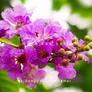 Bằng lăng hoa tím