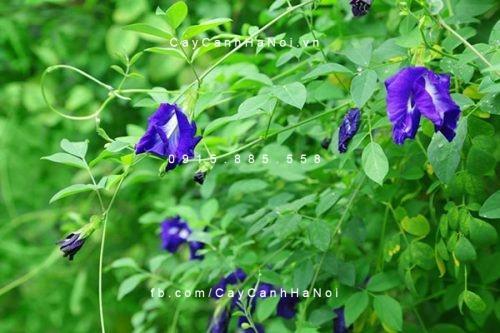 Cây hoa đậu biếc