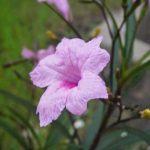 Cây chiều hồng