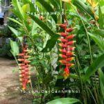 Cây chuối hoa tràng pháo