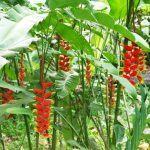Cây chuối hoa tràng pháo2
