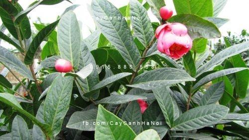 Cây hoa hải đường 2