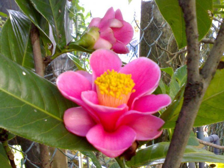 Cây hoa hải đường 3