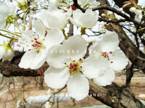 Cây hoa lê 1