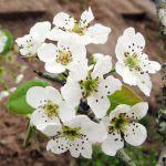 Cây hoa lê 3