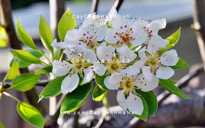 Cây hoa lê