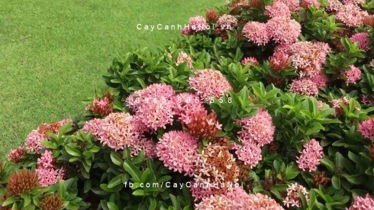 Cây trang thái hồng phấn 1