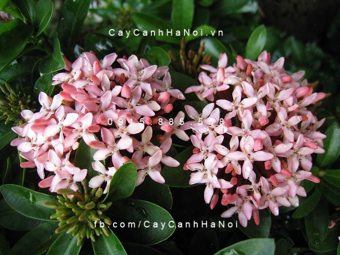 Cây trang thái hồng phấn 3