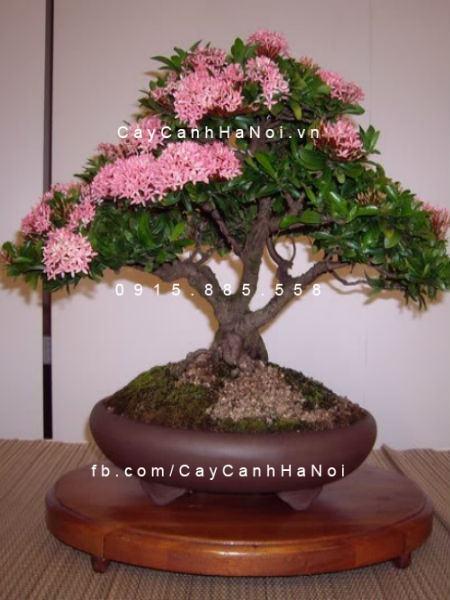 Cây trang thái hồng phấn