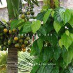Cây cau ăn trầu