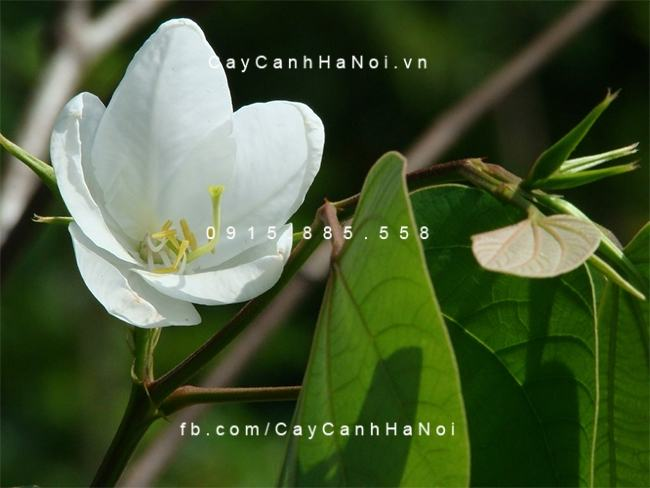 Cay-ban-tay-bac-3