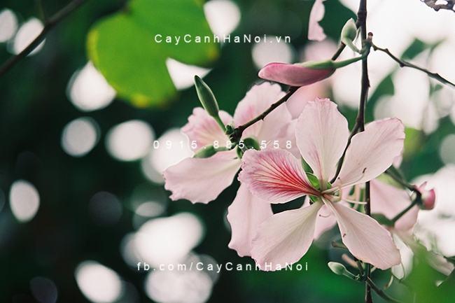 Cay-ban-tay-bac-5