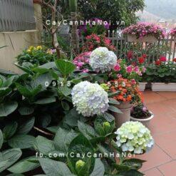 Chăm sóc cây cẩm tú cầu trồng sân vườn