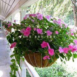 Hoa mai địa thảo
