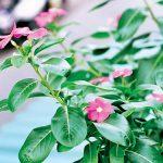 Hoa dừa cạn 3