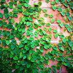 Loại cây trâu cổ