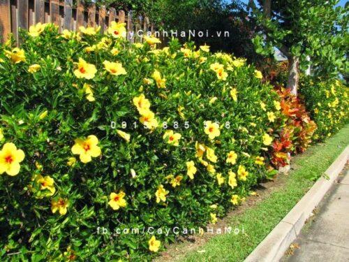 cây bông bụp thái vàng
