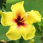 cây bông bụp thái vàng1