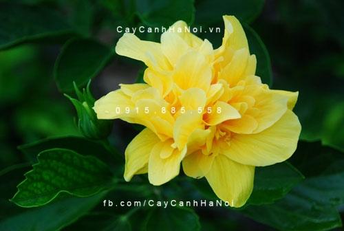 cây bông bụp thái vàng5