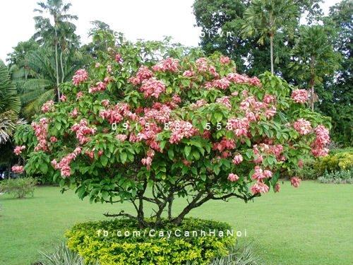 cây bướm hồng 2