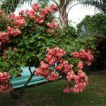 cây bướm hồng 3