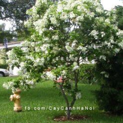 cây bướm trắng
