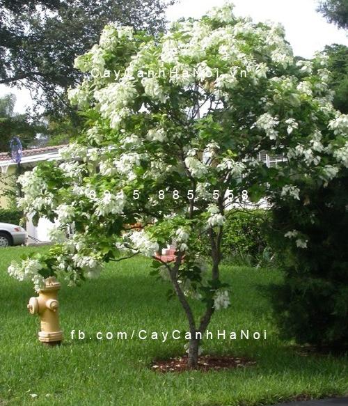 cây bướm trắng1