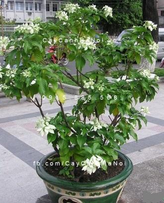 cây bướm trắng2