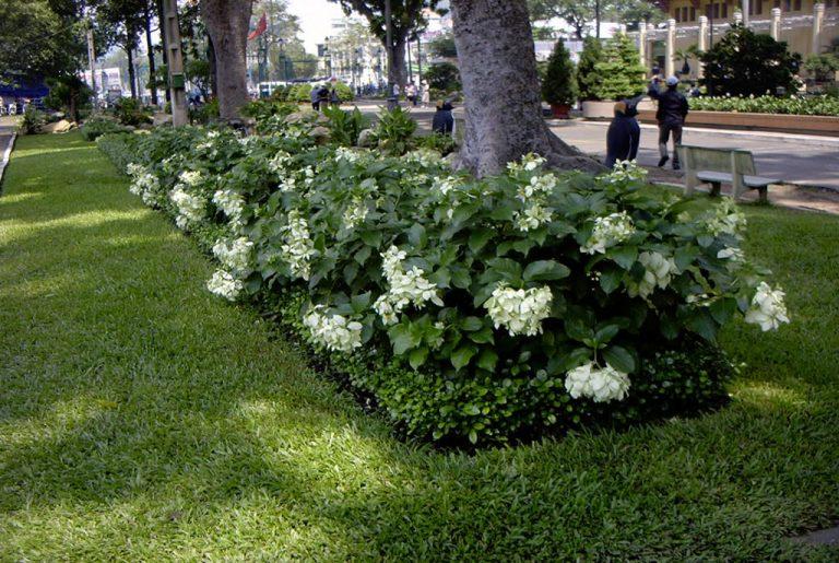 cây bướm trắng3