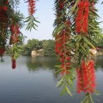 cây liễu rủ hoa đỏ 1