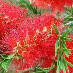 cây liễu rủ hoa đỏ 3