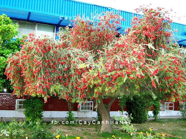 cây liễu rủ hoa đỏ