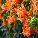 cây rạng đông hoa đỏ