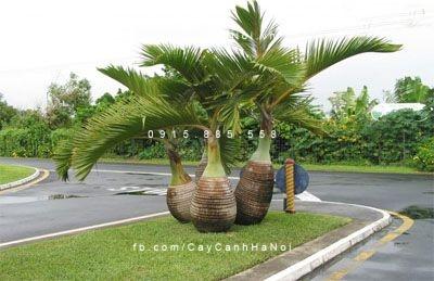 cây cau sâm banh