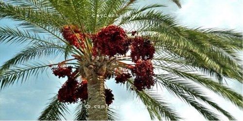 cây chà là ăn trái (2)
