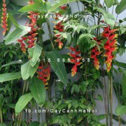 Cây chuối hoa Pháo