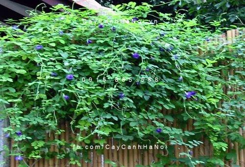 Cách chăm sóc cây hoa đậu biếc