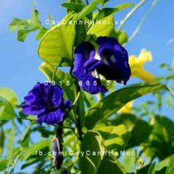 Cây hoa đậu biếc đẹp