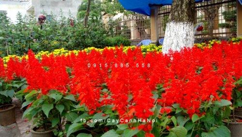 Cây pháo đỏ trồng làm cảnh chưng tết