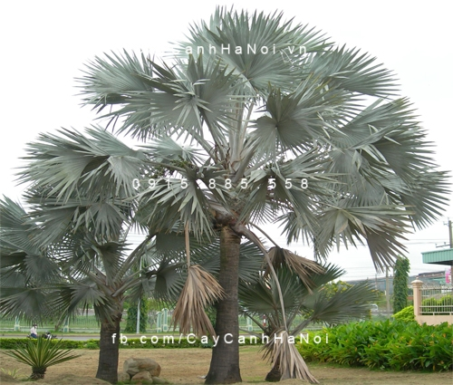 cây kè bạc Mỹ (1)