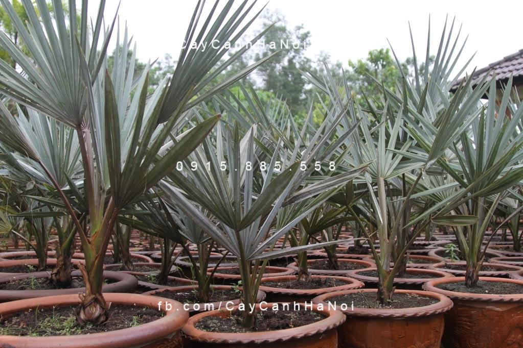 cây kè bạc Mỹ (2)