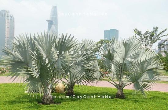 cây kè bạc Mỹ (4)