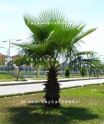 cây kè xanh Mỹ (4)