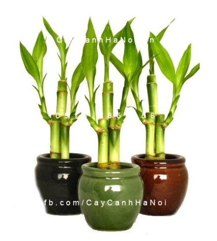 Cách trồng và chăm sóc cây phát lộc