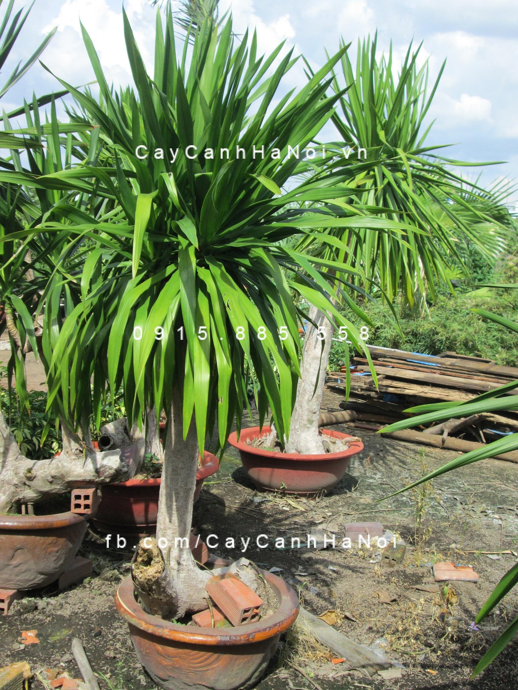 cây phát tài Việt Nam (3)