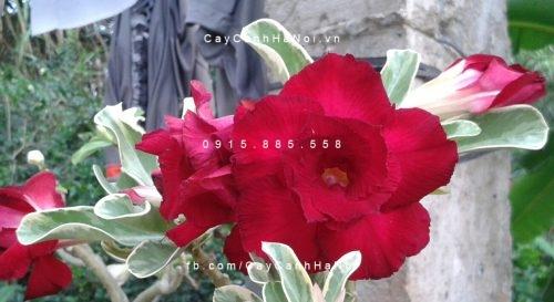 cây sứ thái hoa đỏ (1)