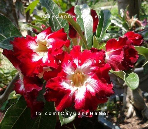 cây sứ thái hoa đỏ (2)