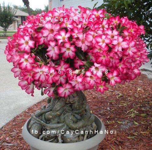 cây sứ thái hoa đỏ (3)